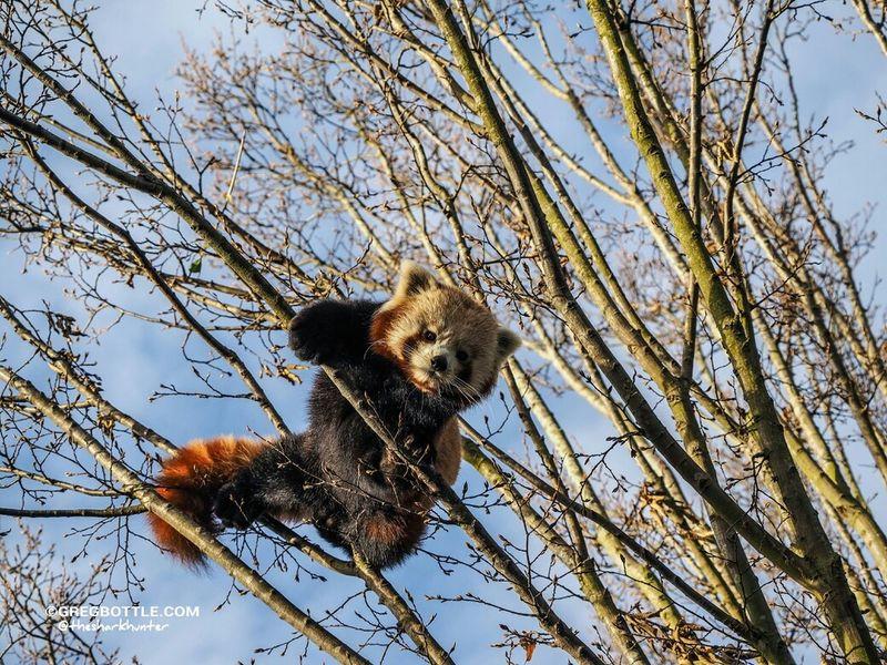 Jasper high up in his tree. Red Panda Wildlife Wingham Wildlife Park