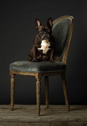 French Bulldog Representation Animal Representation Indoors  No People Animal Mammal Seat Studio Shot Chair Single Object One Animal Animal Themes Domestic Domestic Animals Creativity