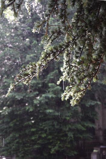 summer rain Abstract Abstract Background Beauty In Nature Close-up Growth Outdoors Season  Summer Summer Rain Sun And Raun Tree