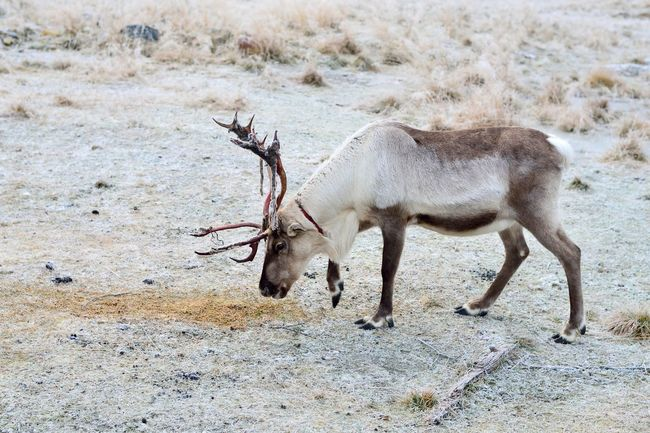 A single reindeer searching for moss to eat. Shedding skin from antlers. Animal Animal Themes Antlers Day Focus On Foreground Herbivorous Landscape Mammal Nature No People Non-urban Scene Outdoors Reindeer Zoology