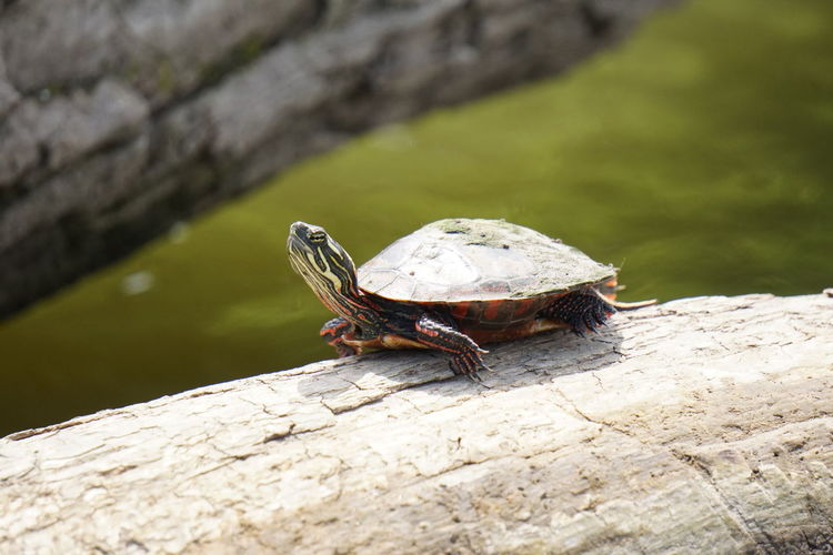 Animal Themes Animal Wildlife Animals In The Wild Close-up Colorful Copy Space. Day Logs Mossy Nature No People One Animal Outdoors Painted Turtle Root River Shadow And Light Shell Springtime Sunning Sunny Day Watchful Water Wisconsin River