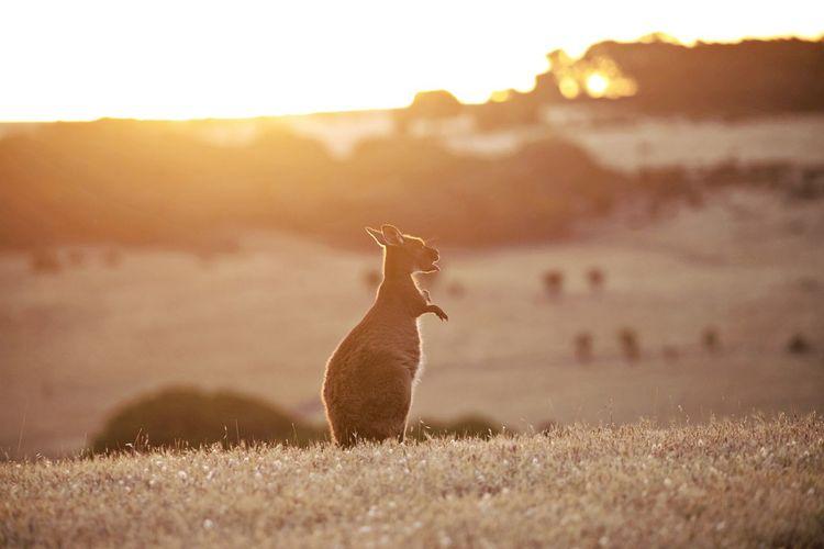 View of kangaroo on field against sky