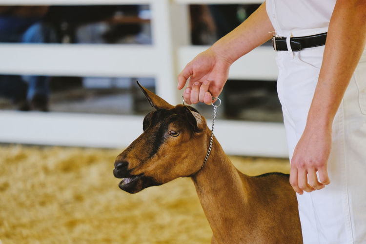 Person showing goat in show at fair closeup. Domestic Animals Domestic Real People Mammal Pets One Animal Hand Human Hand One Person Vertebrate Focus On Foreground Human Body Part Livestock Lifestyles Herbivorous Pet Owner Boer Goat Boer Goat Show Fair Close-up Closeup person