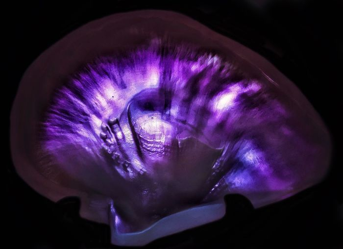 Blacklight On Shell Purple Studio Shot Black Background No People Close-up Indoors