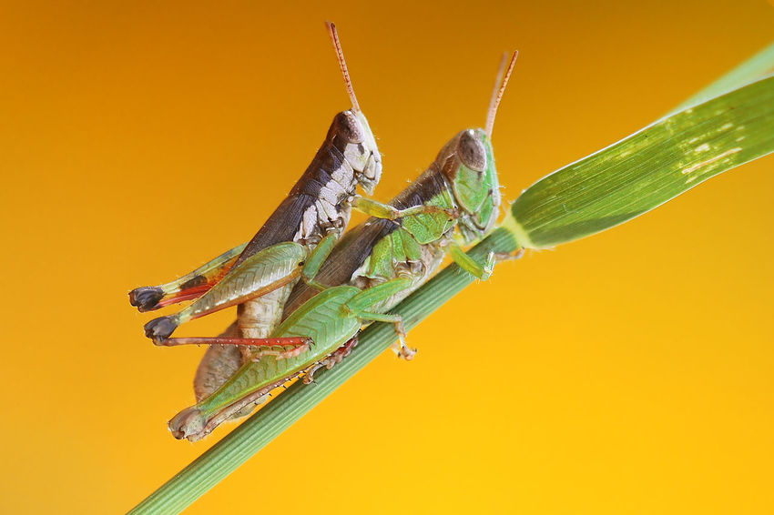 My heart Insect Animal Wildlife Macro Animals In The Wild Animal Themes Close-up Yellow Background Colored Background Nature Damselfly Focus On Foreground Leaf Stack No People Stereo Outdoors Day Splashing Droplet Perching