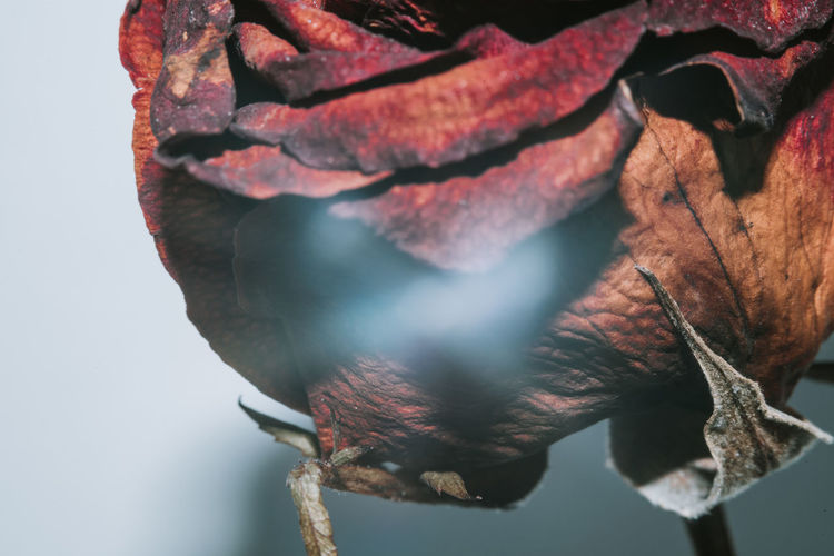 Close-up of red rose hanging on rope against white background