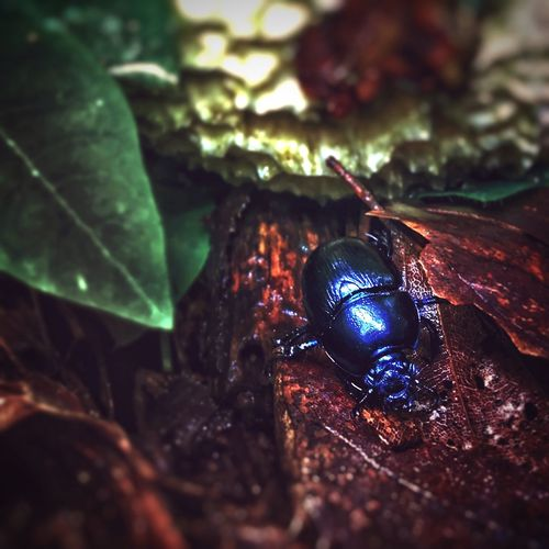closer than he wants Forest Photography Beautiful Violet Blue Beetle Insect Nature My View Of It All Followme EyeEm Best Shots EyeEmNewHere EyeEm Nature Lover EyeEm Best Shots - Nature EyeEm Selects Nature Photography Insect Photography Makro Photography Insects  Colourful Animals In The Wild Animal Themes One Animal Insect Animal Wildlife No People Outdoors Close-up Nature