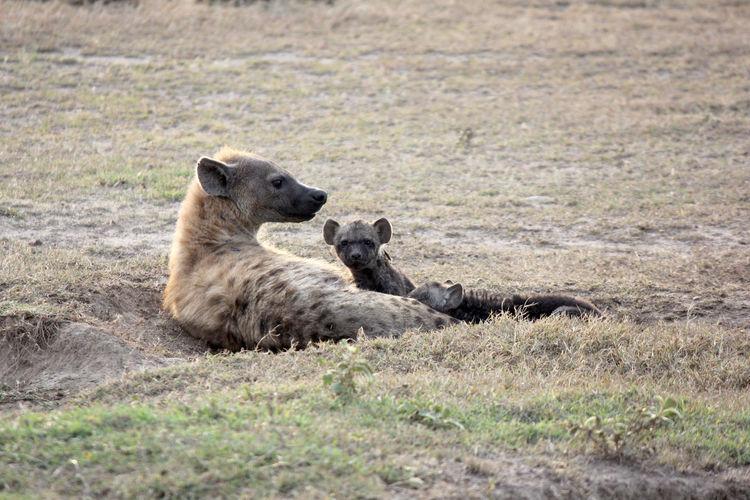 Hyenas Relaxing On Field
