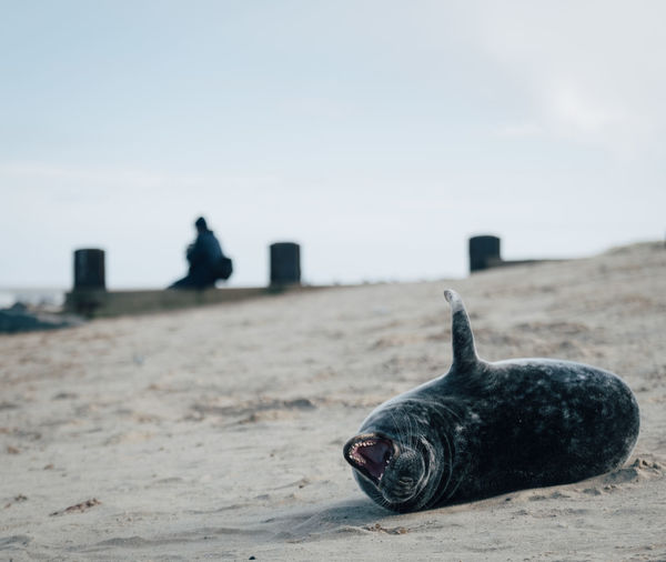 Close-up of a seal on the beach