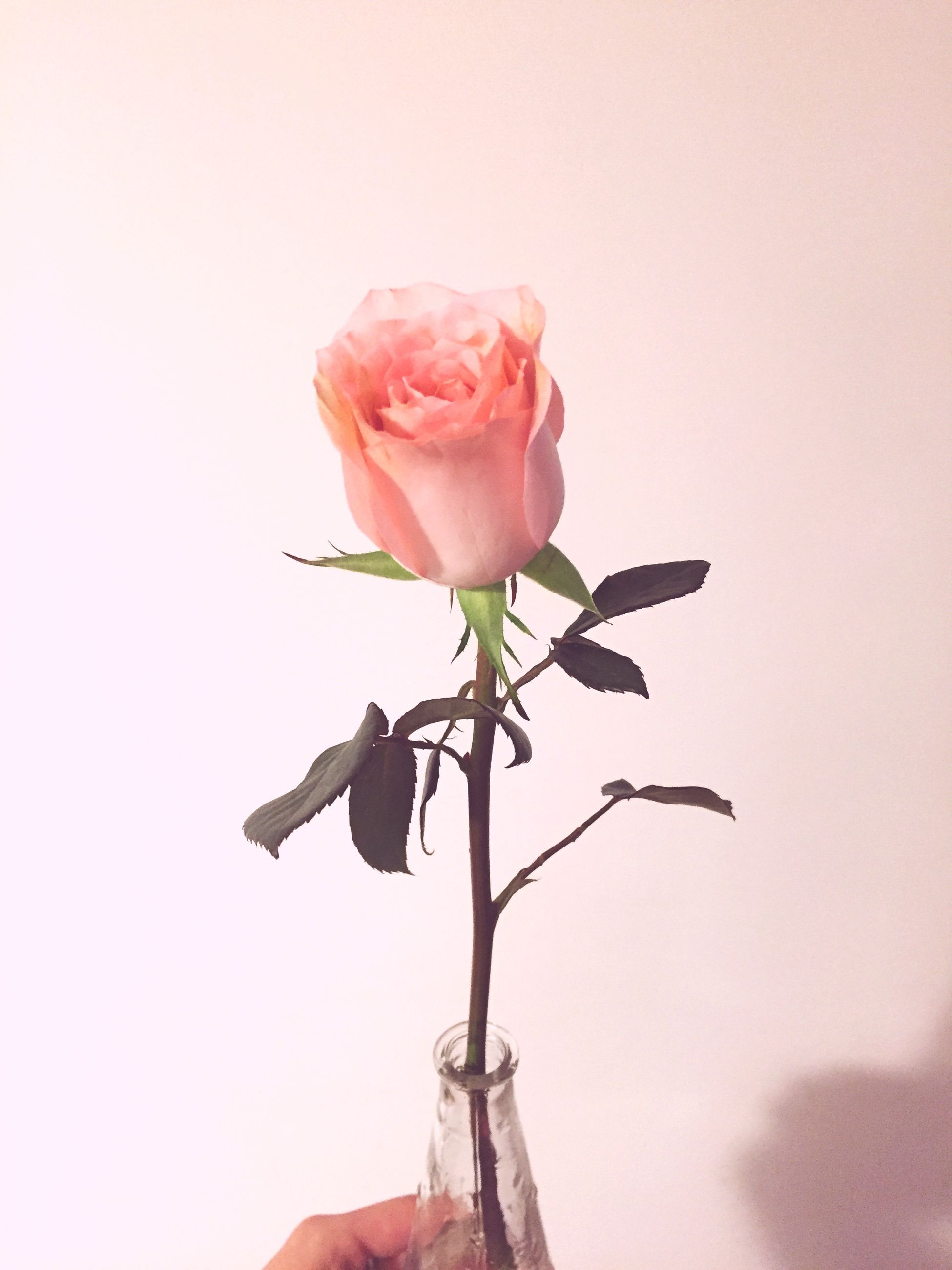 flower, petal, freshness, fragility, flower head, rose - flower, pink color, stem, beauty in nature, close-up, single flower, bud, nature, growth, rose, focus on foreground, plant, blooming, pink, no people