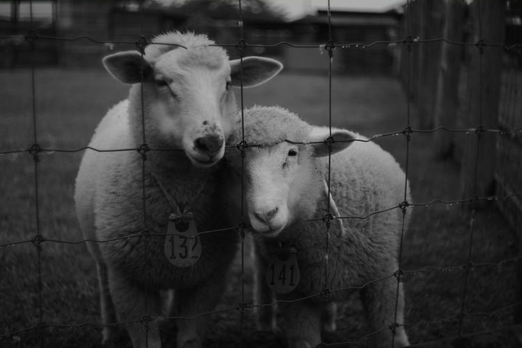 Close-Up Of Sheep Fenced In