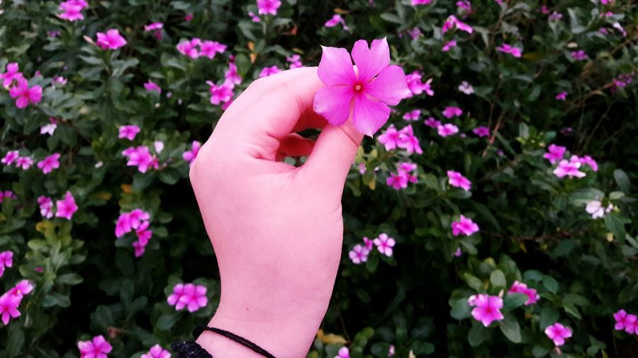 Flower Pink Color Human Hand Plant Nature Flowers Green Green Color Summer