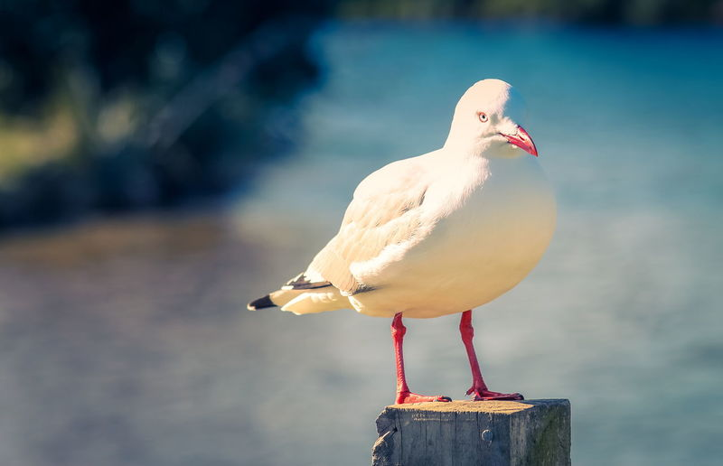 Close up image of a red billed gull (Chroicocephalus scopulinus) perched on a post at the Waikanae Estuary on the Kapiti Coast of New Zealand. The red-billed gull, once also known as the mackerel gull, is a native of New Zealand. Copy Space Animal Themes Animal Wildlife Animals In The Wild Bird Black-headed Gull Close-up Copyspace Day Focus On Foreground Nature New Zealand No People One Animal Outdoors Perching Red-billed Gull Seagull Water