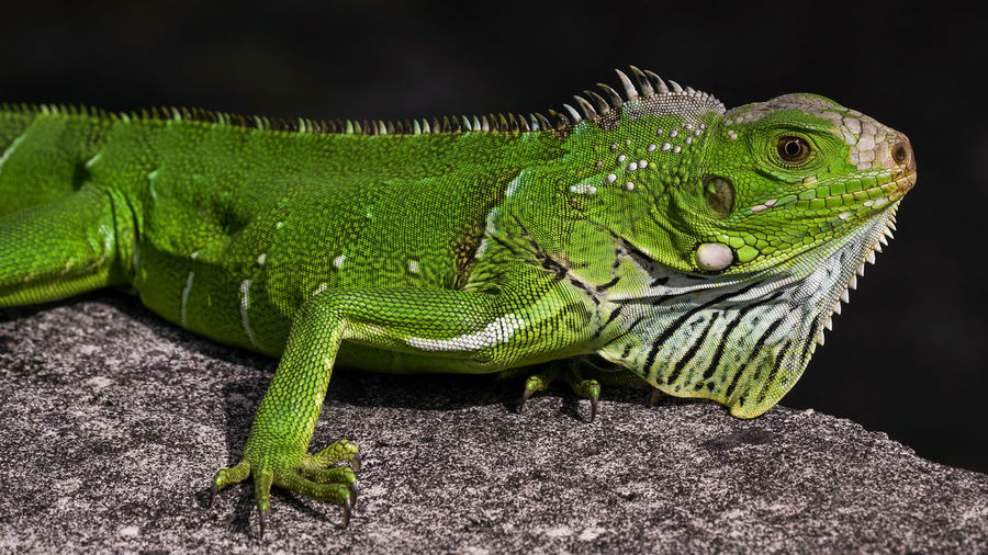 Madinina iguana A7RII Animal Wildlife Animals In The Wild Close-up Exotic Green Color Iguana Island Lizard Martinique Nature Outdoors Reptile Sony Tropical Climate Pet Portraits