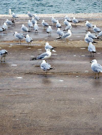 Birds🐦⛅ Birds Seagulls At The Lake Seagull. Seagull Serenity Bird Birds_collection Birdphotography Seagull Seagulls Flying Bird Photography