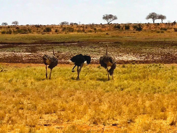 Tsavo Est Ostrich Animal Themes Safari Safari Animals Animals In The Wild Freedom Animal Wildlife Savannah Ostriches Field Landscape Grass No People Animals In The Wild Outdoors Africa Africananimals