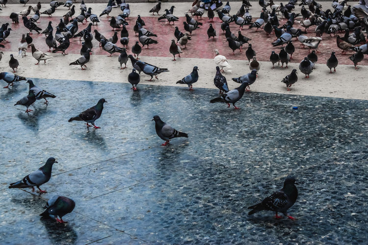 High angle view of pigeons perching on street