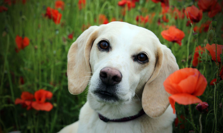 Animal Themes Beagle Beauty In Nature Blonde Beagle Breed Close-up Day Dog Domestic Animals Flower Flower Head Focus On Foreground Fragility Mammal Nature No People One Animal Outdoors Petal Pets Plant Poppies  Portrait Rare Red Pet Portraits