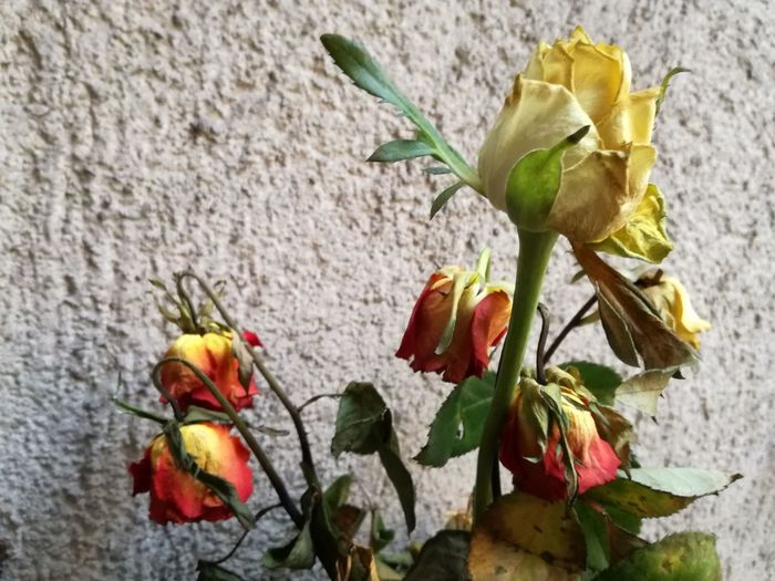 Still beautiful ... The same flowers 💚 Dry Flower  Flower Plant No People Outdoors Petal Close-up Nature Leaf Beauty In Nature Fragility Flower Head Day Wilted Plant Wilted Flower Wilted Roses Roses