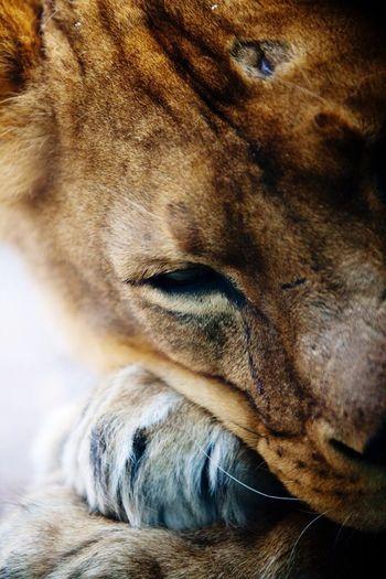 Lioness Nature