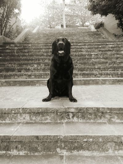 Black Color Pets Dog Domestic Animals Black Labrador Outdoors No People City Street Stairs Welcome To Black