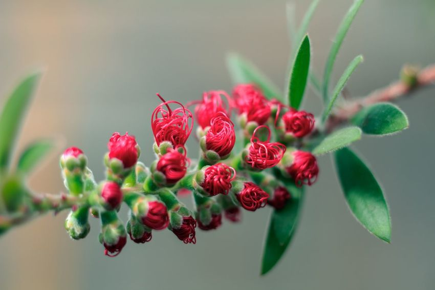 Callistemon citrinus closed Plant Freshness Red Berry Fruit Growth Close-up Nature Focus On Foreground Fruit Food And Drink Food Beauty In Nature Green Color No People Flower Leaf Plant Part Healthy Eating Flowering Plant Day