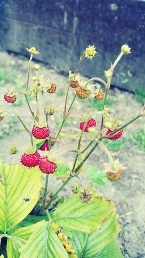 Strawberry *-*