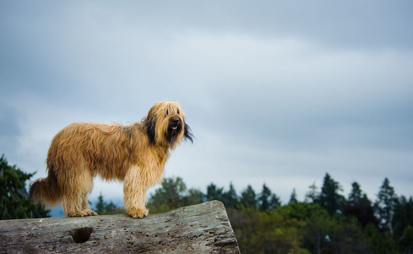 Briard on log against sky