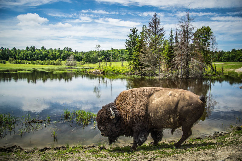 Bison by lake against sky