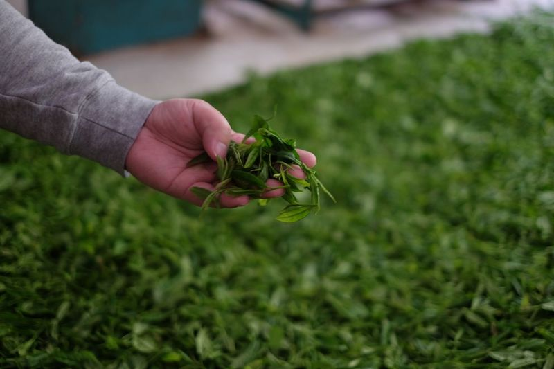 Tea Process Pick Tea-leaves Tea Human Hand Hand Human Body Part One Person Holding Real People Plant Focus On Foreground One Animal Green Color Animal Wildlife Nature Close-up Invertebrate Outdoors Day Animals In The Wild Field Finger