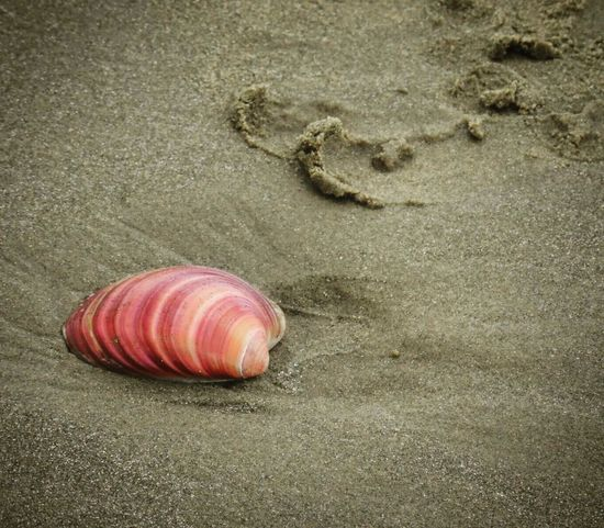 Beach Beachphotography Beachlovers Pink Sea Shell Sea Shell Nature Beauty Colorful