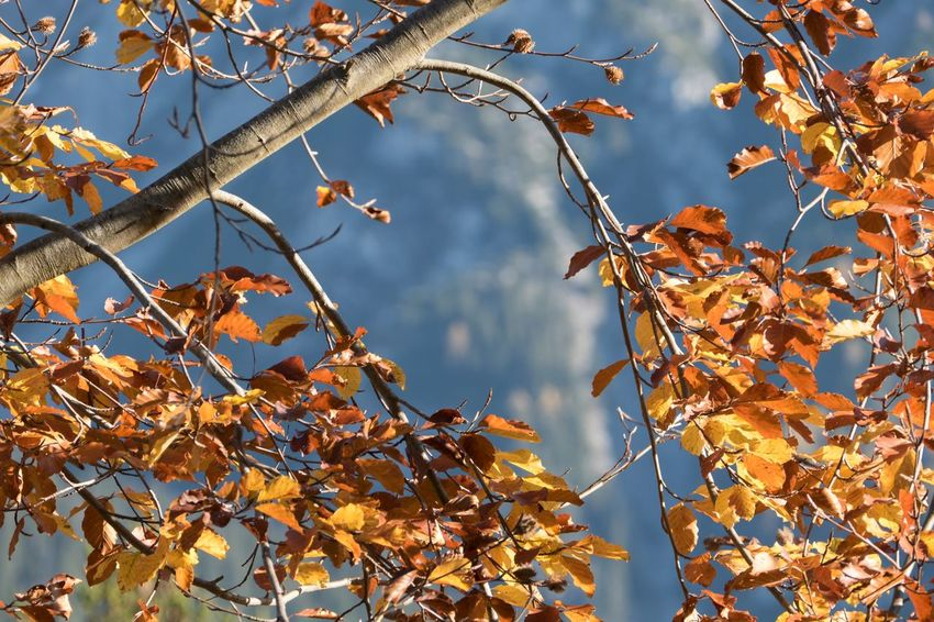 Autumn Autumn Collection Beauty In Nature Branch Change Close-up Day Dry Focus On Foreground Growth Leaf Leaves Low Angle View Maple Leaf Natural Condition Nature No People Orange Color Outdoors Plant Plant Part Sky Tree