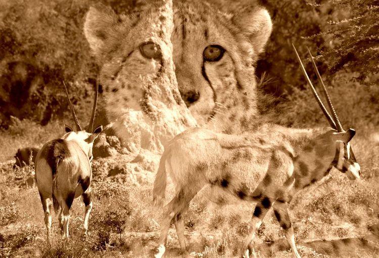 African Wilderness Wildlife Wilderness Natgeotravel Natgeowild Nature Photography Nikon Nature_perfection Namibia Etosha National Park Prey Cheetah Safari Animals Big Cat Savannah Carnivora Threatened Species Feline