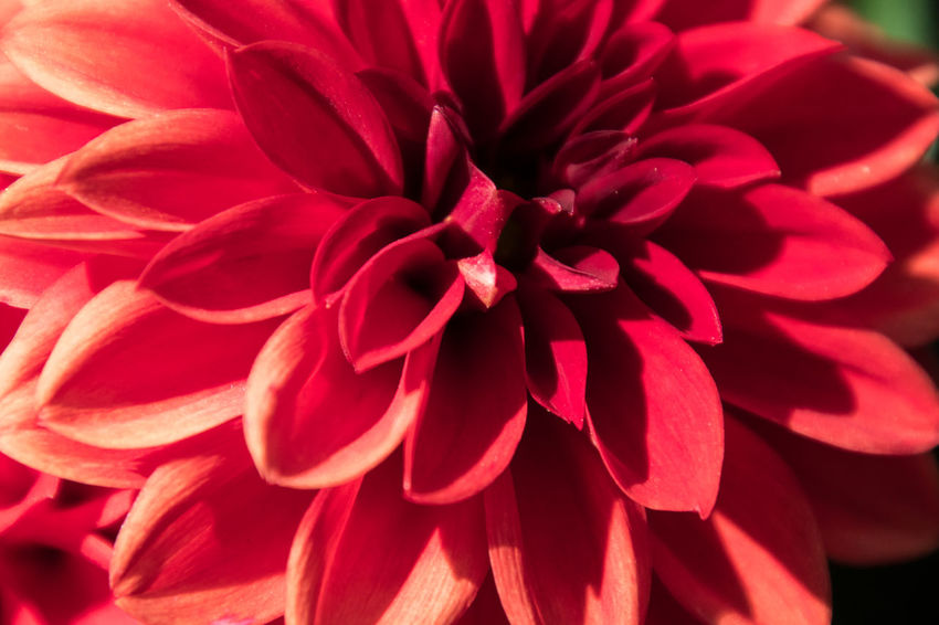 Beauty In Nature Botany Close-up Dahlia Day Flower Flower Head Flowering Plant Focus On Foreground Fragility Freshness Growth Inflorescence Nature No People Outdoors Petal Plant Red Vulnerability
