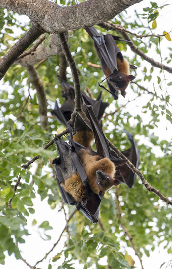 Foxbats in Thailand ASIA Thailand Animal Themes Animal Wildlife Animals In The Wild Bat - Animal Branch Day Forest Fox Bat Foxbat Fruit Hanging Low Angle View Mammal Nature No People Outdoors Tree Wild