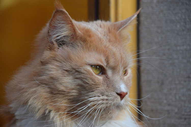 Close up portrait of ginger domestic cat looking away Domestic Pets Domestic Animals Animal Themes Animal Cat One Animal Domestic Cat Feline Whisker Looking No People Looking Away Close-up Animal Head  Ginger Cat Animal Eye Day Focus On Foreground Animal Portrait