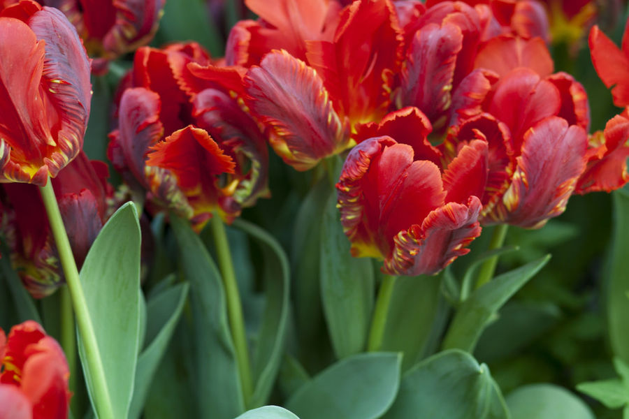 Tulip Tulips Red Tulips Red Flowers Outside Nature Beauty In Nature Beauty Green Growth Leaves The Color Of Sport