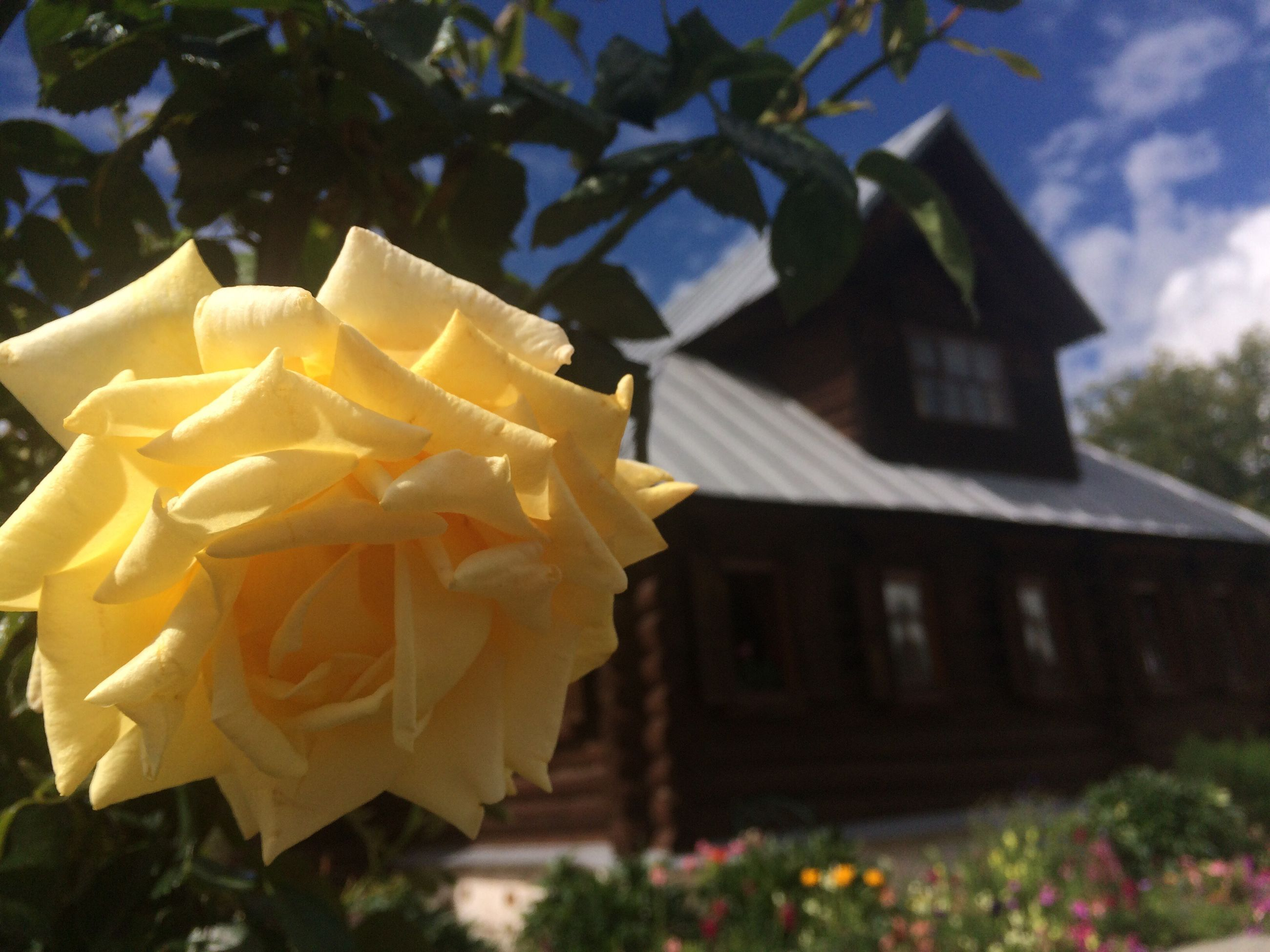 flower, freshness, petal, architecture, building exterior, built structure, yellow, close-up, fragility, flower head, rose - flower, springtime, beauty in nature, day, nature, growth, outdoors, vibrant color, blossom, focus on foreground, single flower, no people, in bloom, focus, soft focus, botany, flowering plant