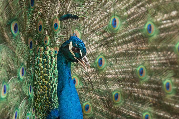 Detail Shot Of Peacock