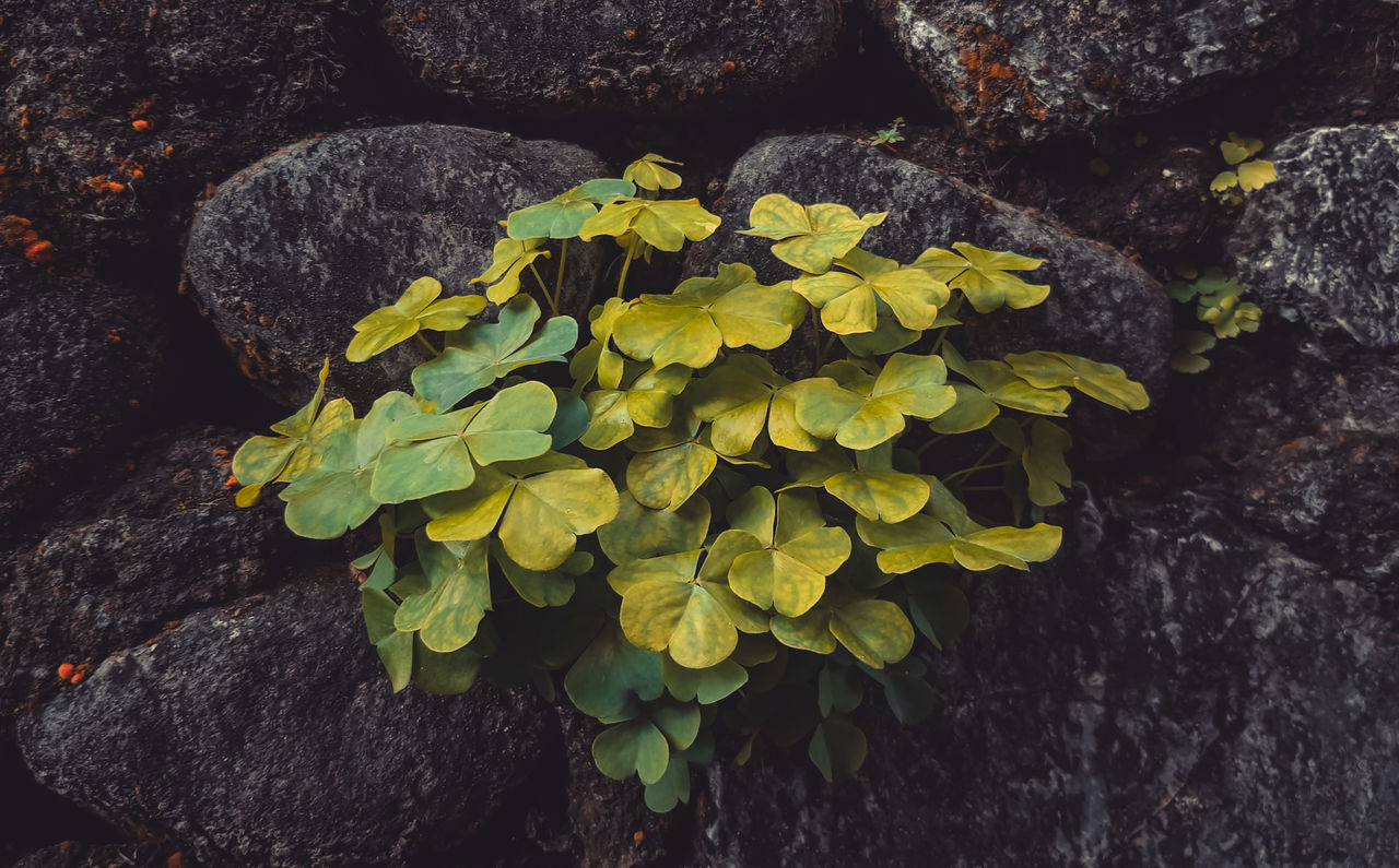 CLOSE-UP OF FLOWERING PLANT BY ROCK