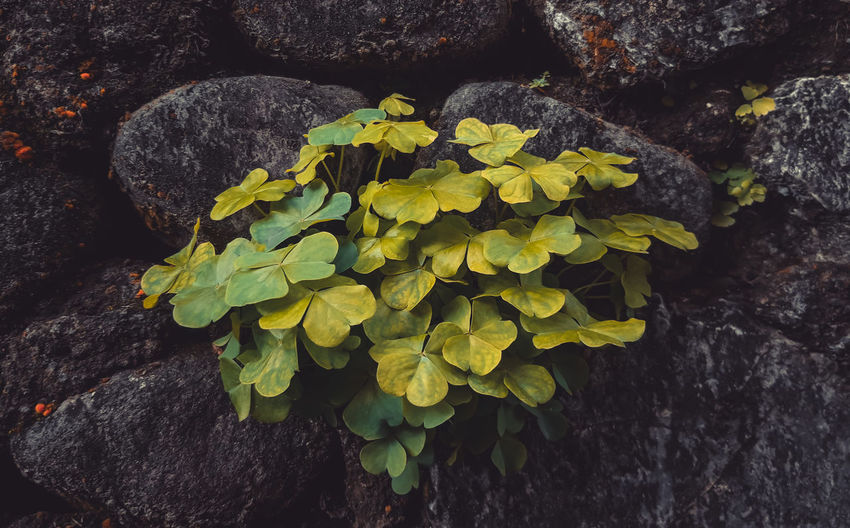 Close-up of flowering plant by rocks