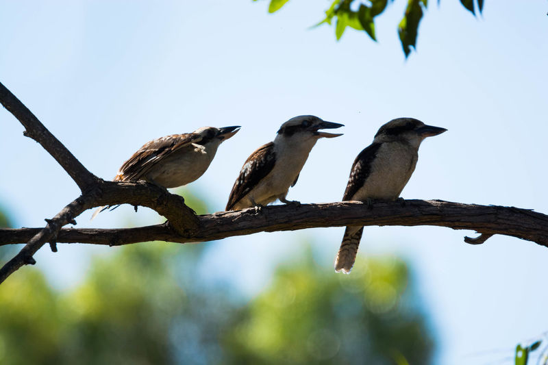 Gazisonit Kookaburra Animal Themes Animal Wildlife Animals In The Wild Beauty In Nature Bird Branch Clear Sky Close-up Day Focus On Foreground Low Angle View Nature No People Outdoors Perching Sky Togetherness Tree