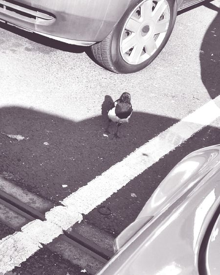 Good Morning Mr Magpie Staring At Me Staringcontest Black & White Light And Shadow Lines Carparks Magpies Soft2 B&w Street Photography