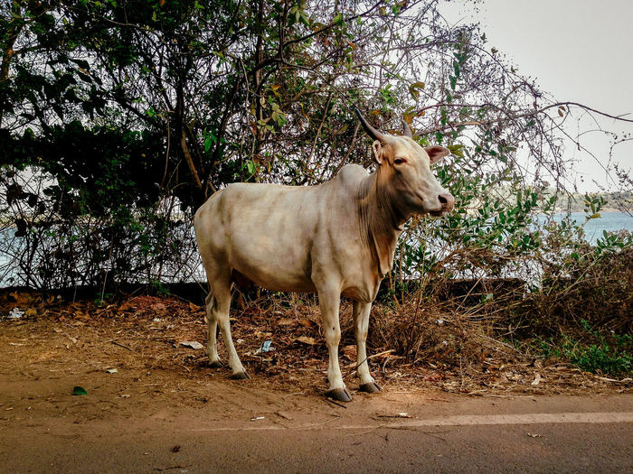 Cow Standing Against Tree