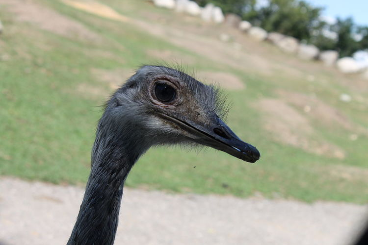 Animal Themes Animal Wildlife Animals In The Wild Beak Bird Check This Out Close-up Day Enjoying Life Eye4photography  EyeEm Best Shots EyeEm Nature Lover Focus On Foreground No People One Animal Ostrich Outdoors Taking Photos