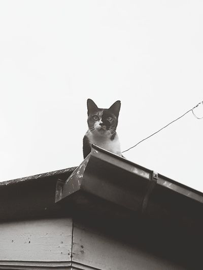 Oh my cAt! Animal Roof Low Angle View Animal Wildlife Domestic Cat Mammal Animal Themes Lion - Feline Animals In The Wild Day Sky Flying Cat Watching Cat Eyes Catlifestyle Cat! Black And White Friday