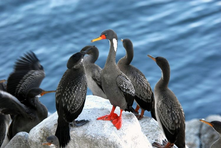 Bird Animal Wildlife Animals In The Wild Red Colony Water No People Animal Themes Outdoors Nature Day Pato Lile Cormorán De Patas Coloradas