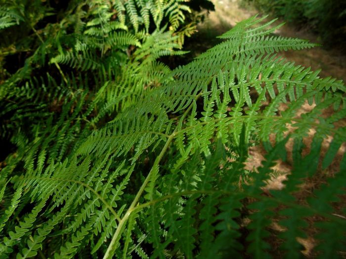 fern Beauty In