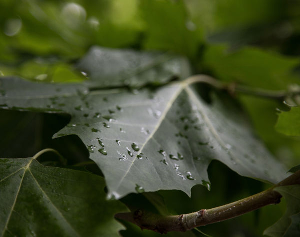 Beauty In Nature Close-up Day Dew Drop Fragility Green Color Growth Leaf Leaf Vein Leaves Maple Leaf Nature No People Outdoors Plant Plant Part Purity Rain RainDrop Rainy Season Selective Focus Vulnerability  Water Wet The Great Outdoors - 2018 EyeEm Awards