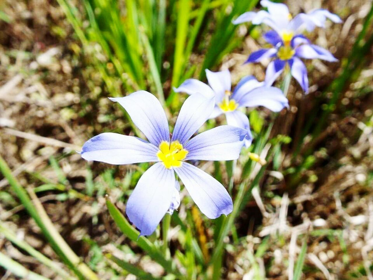 vulnerability, flowering plant, flower, fragility, freshness, plant, petal, beauty in nature, growth, close-up, flower head, inflorescence, purple, nature, day, no people, iris, white color, focus on foreground, field, pollen, crocus
